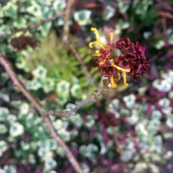 burgundy plant low res